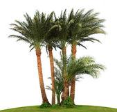 Izole palmiye ağacı — Stok fotoğraf