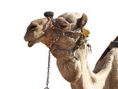 A happy, grinning camel isolated in profile — Stock Photo