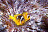 Clown fish in an anemone — Stock Photo