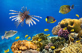 Coral colony and coral fish — Foto de Stock