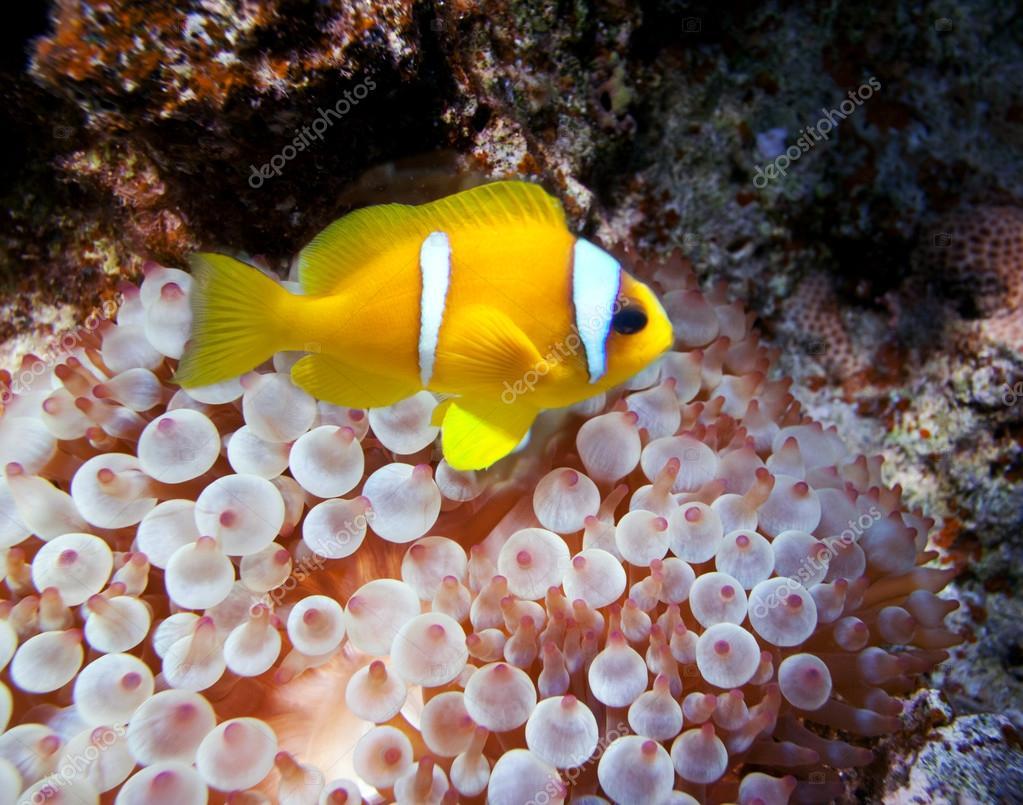 Clown fish in an anemone stock photo irochka 15557097 for Clown fish price