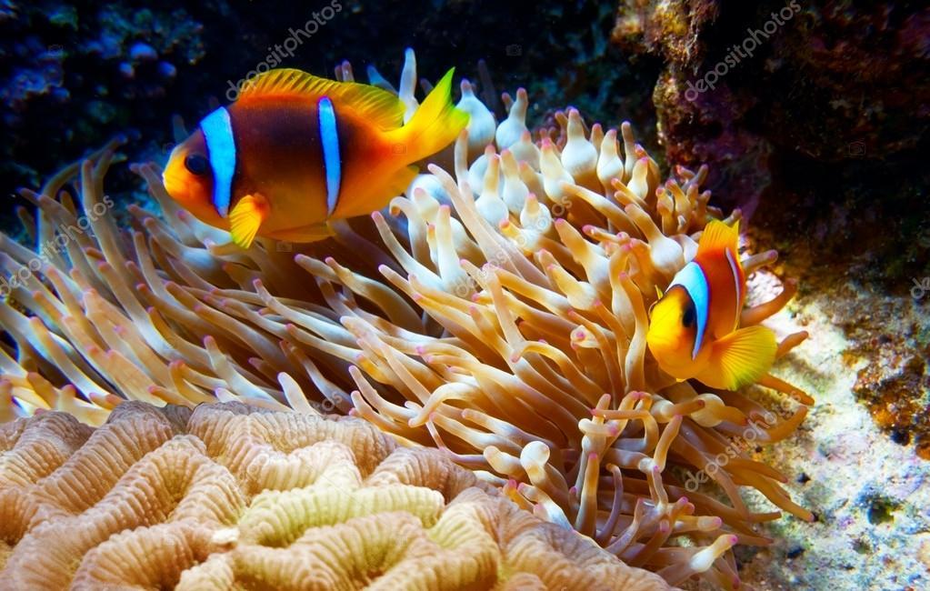 Clown fish in an anemone stock photo irochka 15557597 for Clown fish price