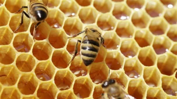 Vista cercana de las abejas en panal — Vídeo de stock
