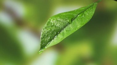 Leaf with drop of rain water with green background — Stock Video