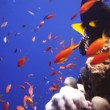 Coral and fish in the Red Sea, Egypt — Stock Video