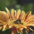 Stok video: Bees collecting nectar from flower