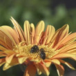 Bees collecting nectar from flower — ストックビデオ #26113207