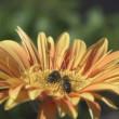 API raccogliere il nettare dal fiore — Video Stock