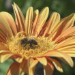 Stock Video: Bees collecting nectar from flower