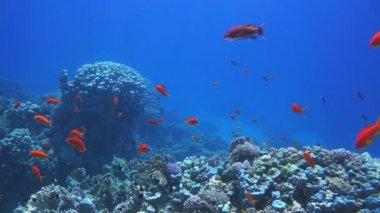 Korallen und fische im roten meer — Stockvideo