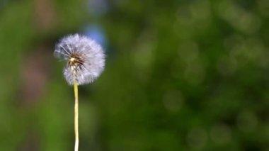 Dandelion seeds flying — Stock Video