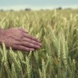 Hand running through wheat field — Stock Video
