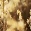 Golden oat ready to be harvested — Stock Video