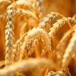 Wheat field — Stock Photo #34848631