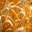 Wheat field — Stock Photo #34848639