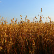 Oat field — Stock Photo #34848667