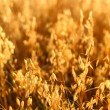 Oat field — Stock Photo #34848677