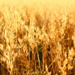 Oat field — Stock Photo #34848679