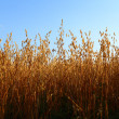 Oat field — Stock Photo #34848681