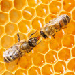 Stok fotoğraf: Macro of working bee on honeycells.