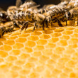 Macro of working bee on honeycells. — Stock Photo #35582745