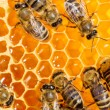 Macro of working bee on honeycells. — Foto de stock #35582753