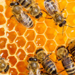 Macro of working bee on honeycells. — Stockfoto #35582753