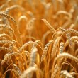 Wheat field — Foto de Stock