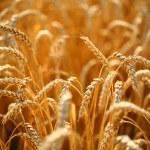Wheat field — Stock Photo #35582767