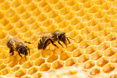 Bees on honeycells. — Stock Photo