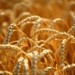 Wheat field — Stock Photo #39477439