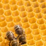пчелы на honeycells — Стоковое фото #41766499