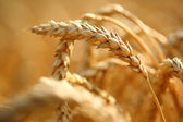 Wheat on the field — Stock Photo