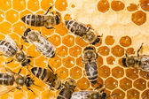 Working bees on honeycells — Stock Photo