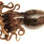 Octopus on white background — Stock Photo #43525565