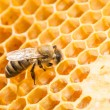 Macro of working bee on honeycells. — Stock Photo #43921665
