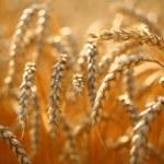 Wheat field — Stock Photo #44657569