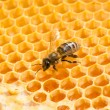 Macro of working bee on honeycells. — Stock Photo #45421947