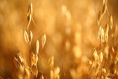 Oat field — Stock Photo