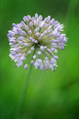 Flowering Onion — Stock Photo