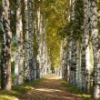 Stock Photo: Avenue of birch trees in autumn colors