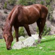 Stock Photo: Horse eats grass