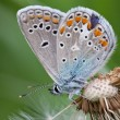 Stock Photo: Butterfly closeup on a white fluffy dandelion