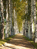 Avenue of birch trees in autumn colors — Stock Photo