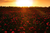 Poppies at sunset — Stok fotoğraf