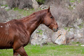 Wild horse in the mountains of Kyrgyzstan — Stock Photo