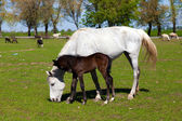 Horse with foal on the farm — Stock Photo