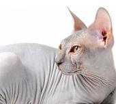 Sphynx kitten — ストック写真