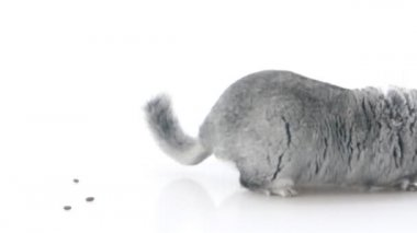 Gray chinchilla isolated on white — Stock Video