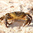 Crab on the rock — Stock Photo